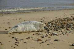 灰色封印lounging在似马的空白海滩 库存图片