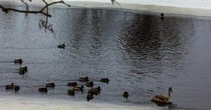 灰色小天鹅在一条河在冬日 库存照片