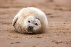 灰色小海豹 库存图片