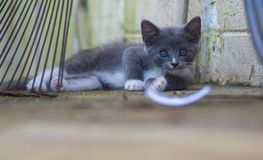 灰色小猫凝视 免版税库存照片
