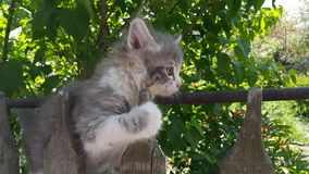 灰色小猫在篱芭上升 小的小猫在篱芭使用 免版税图库摄影