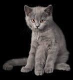 灰色小猫坐黑背景 画象 库存照片
