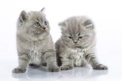 灰色小猫小二 库存照片