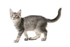 灰色小猫步行 免版税图库摄影