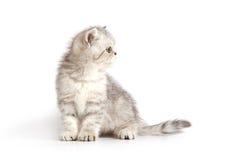 灰色小猫空白的一点 免版税库存图片