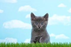 灰色小猫蓝灰色在绿草天空背景中注视 免版税图库摄影