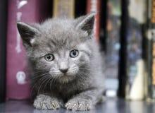 灰色小猫 图库摄影