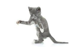 灰色小猫 库存图片