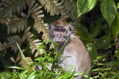 灰色小猿在密林 库存图片