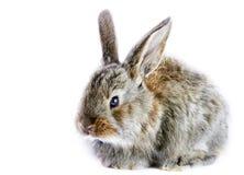 灰色小的兔子 库存图片