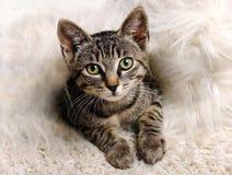 灰色小的小猫 免版税库存图片