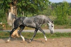 灰色小跑步马 免版税库存照片