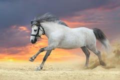 灰色小马 免版税库存图片