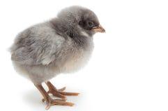 灰色小鸡 库存照片