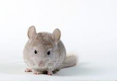 灰色小黄鼠 图库摄影