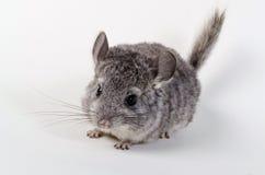 灰色小黄鼠 免版税库存照片