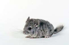 灰色小黄鼠 库存图片