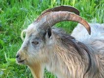 灰色山羊用玉米 图库摄影