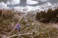 灰色山风景在雪的与在前面的微小的紫色花 免版税库存图片