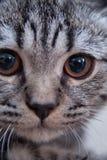 灰色平纹小猫 免版税库存照片