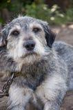 灰色幼小狗 库存图片