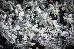 灰色庭园花木背景,瓜叶菊 装饰图案 免版税库存照片