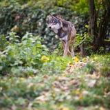 灰色或欧亚狼 免版税库存照片