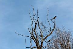 灰色戴头巾乌鸦或乌鸦座的cornix和黑小鸟镇静地坐与干分支俯视的老死的树 免版税库存图片