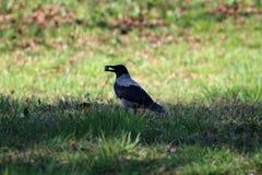 灰色戴头巾乌鸦或乌鸦座的cornix或者的有冠乌鸦和镇静地站立在大树藏品坚果树荫下的黑小鸟在额嘴的 免版税库存照片