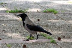 灰色戴头巾乌鸦或乌鸦座的cornix或者的有冠乌鸦和镇静地走在石瓦片的黑小鸟在大树树荫下  免版税库存照片