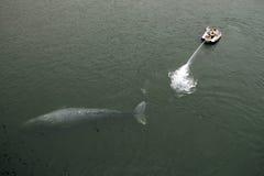 灰色抢救鲸鱼 图库摄影