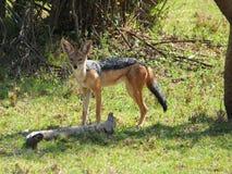 灰色支持的狐狼 免版税库存图片