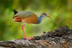 灰色收缩的木头路轨, Aramides cajanea,走在树干本质上 在黑暗的热带森林鸟的苍鹭在自然 免版税库存照片
