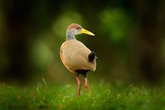 灰色收缩的木头路轨, Aramides cajanea,走在绿草本质上 在黑暗的热带森林鸟的苍鹭在自然 库存图片