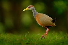 灰色收缩的木头路轨, Aramides cajanea,走在绿草本质上 在黑暗的热带森林鸟的苍鹭在自然 免版税库存照片