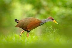 灰色收缩的木头路轨, Aramides cajanea,走在绿草本质上 在黑暗的热带森林鸟的苍鹭在自然 图库摄影