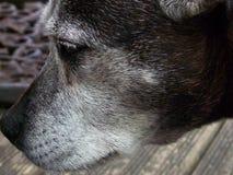 灰色斯塔福德郡杂种犬 库存照片