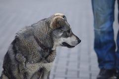 灰色杂种动物 库存图片