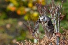 灰色杰伊Perisoreus canadensis飞行中在阿尔冈金省立公园 库存图片