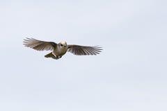 灰色杰伊Perisoreus canadensis飞行中在阿尔冈金省立公园 图库摄影