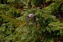 灰色杰伊Perisoreus canadensis飞行中在阿尔冈金省立公园 免版税库存照片