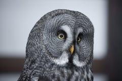 灰色极大的猫头鹰纵向 免版税库存照片