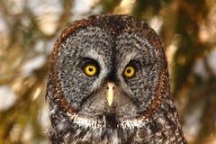 灰色极大的猫头鹰 库存图片