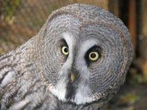灰色极大的猫头鹰 库存照片