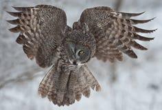 灰色极大的猫头鹰 免版税库存图片