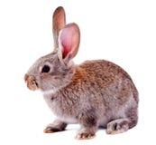 灰色查出的兔子 库存照片