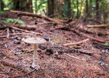 灰色棕色蘑菇伞菌 库存照片