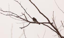 灰色母树燕子鸟 免版税库存照片