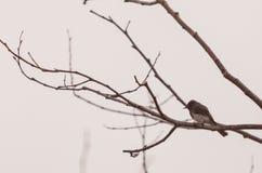 灰色母树燕子鸟 库存图片