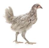 灰色母鸡 免版税库存图片